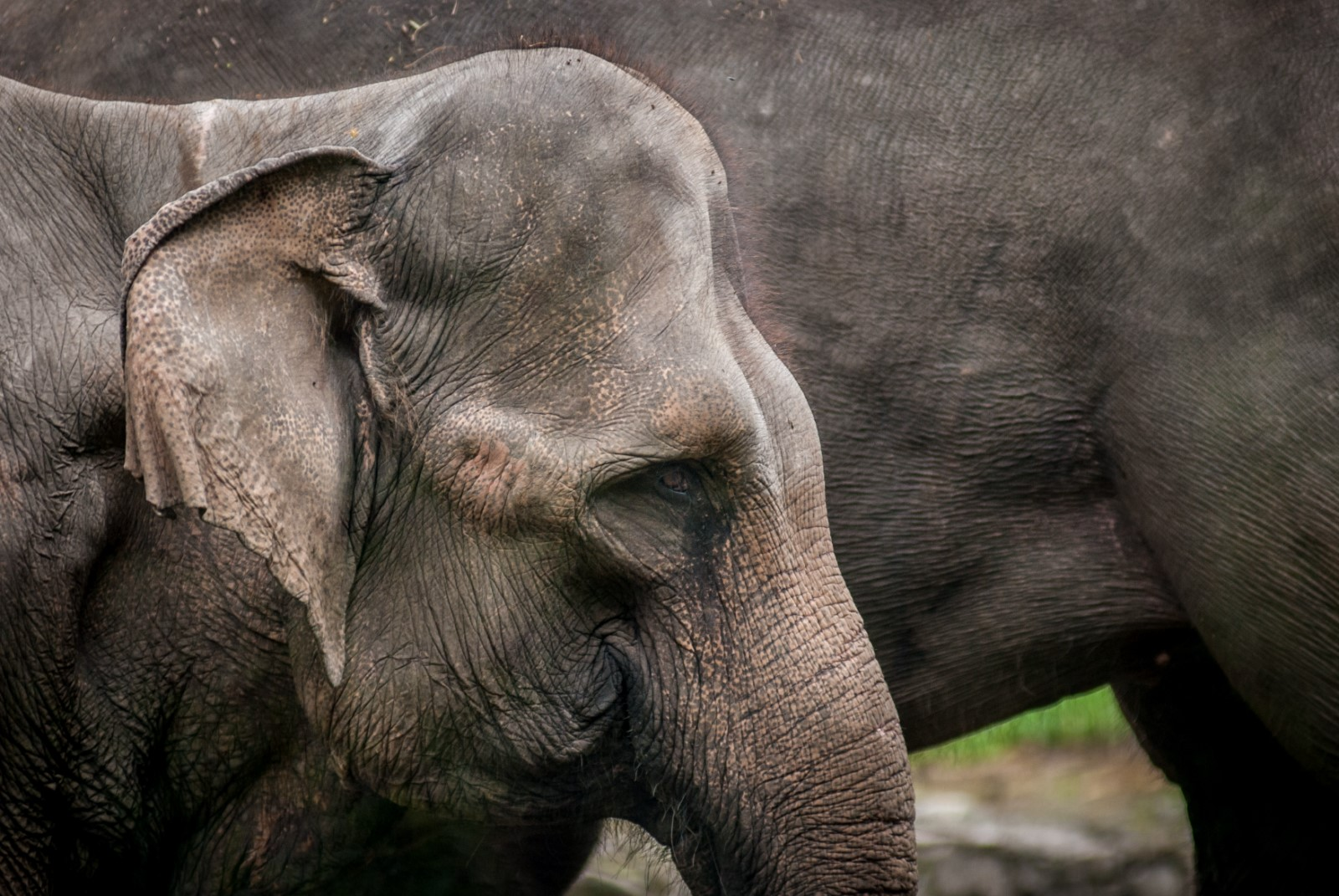 Elephant Sumatra