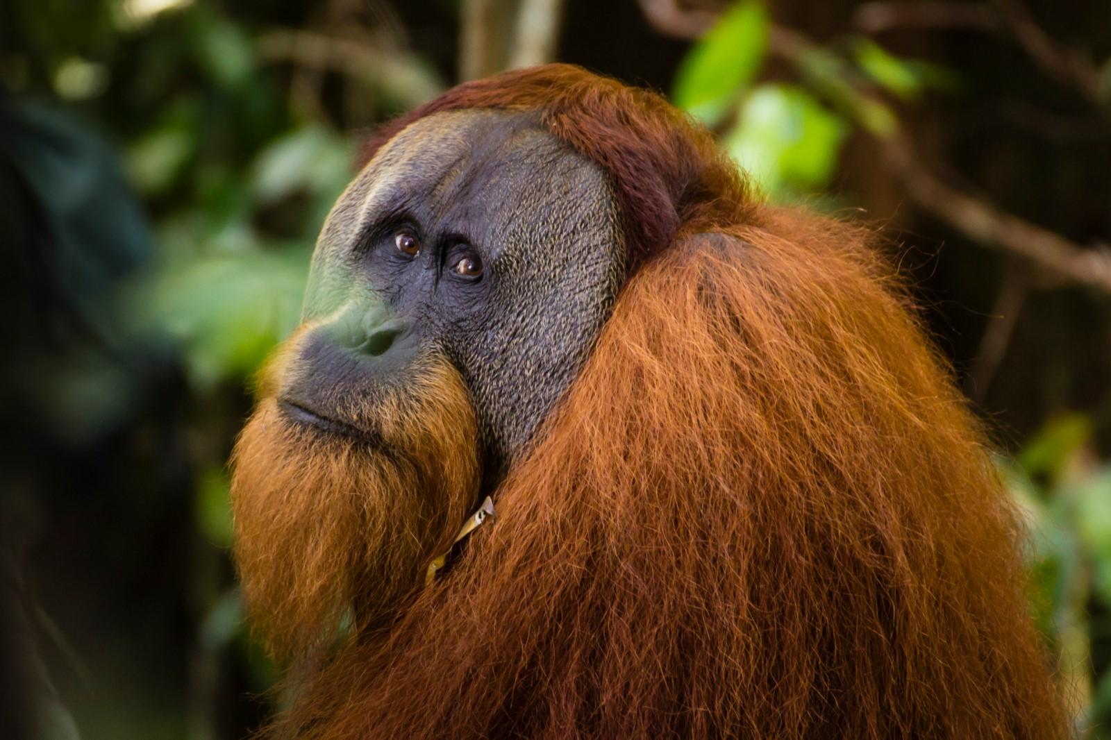 Semi Wild Orang Utan Sumatra