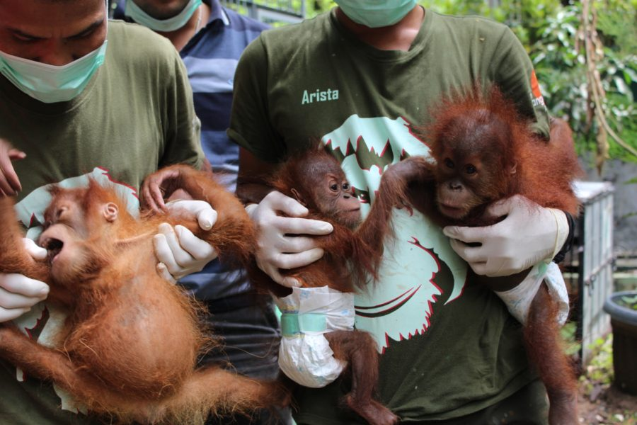 rehabilitation of orang utan