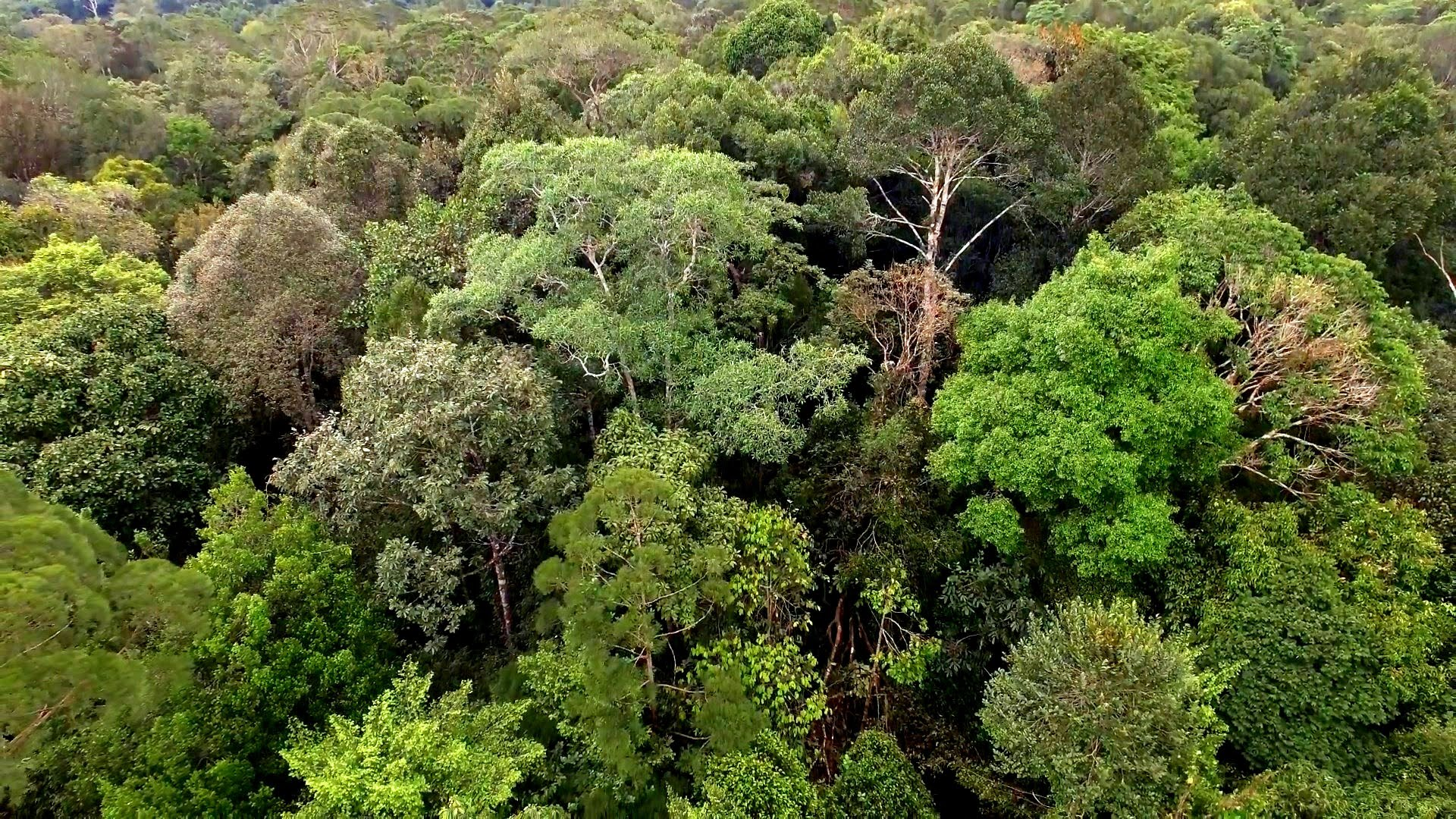 tropical forest of borneo threatened