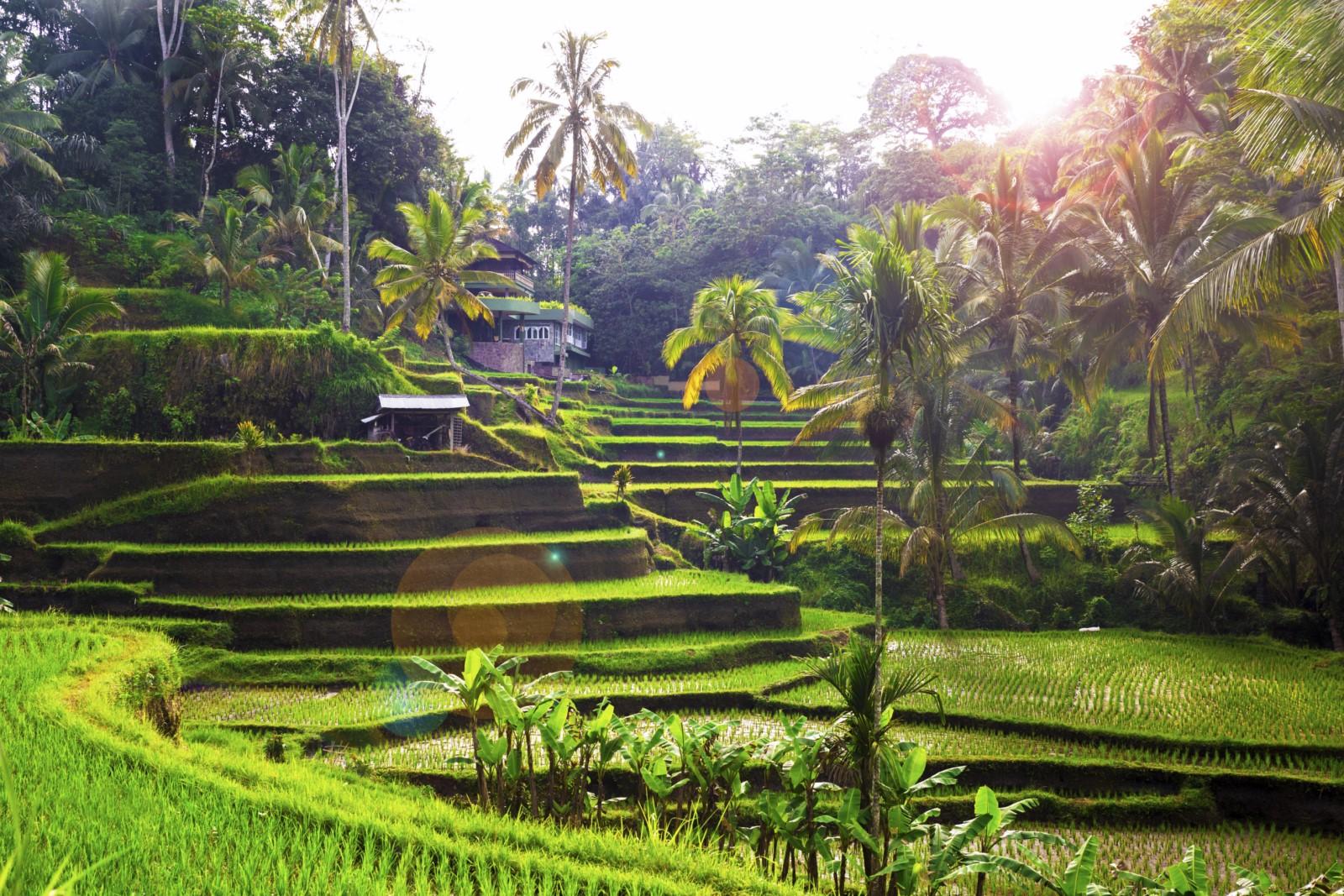 Tegallalang Rice terace Bali