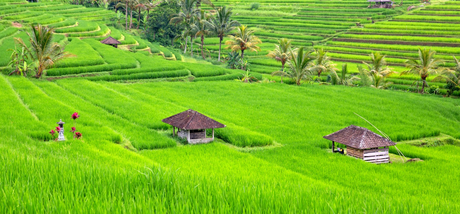 Ricefield Terace Bali