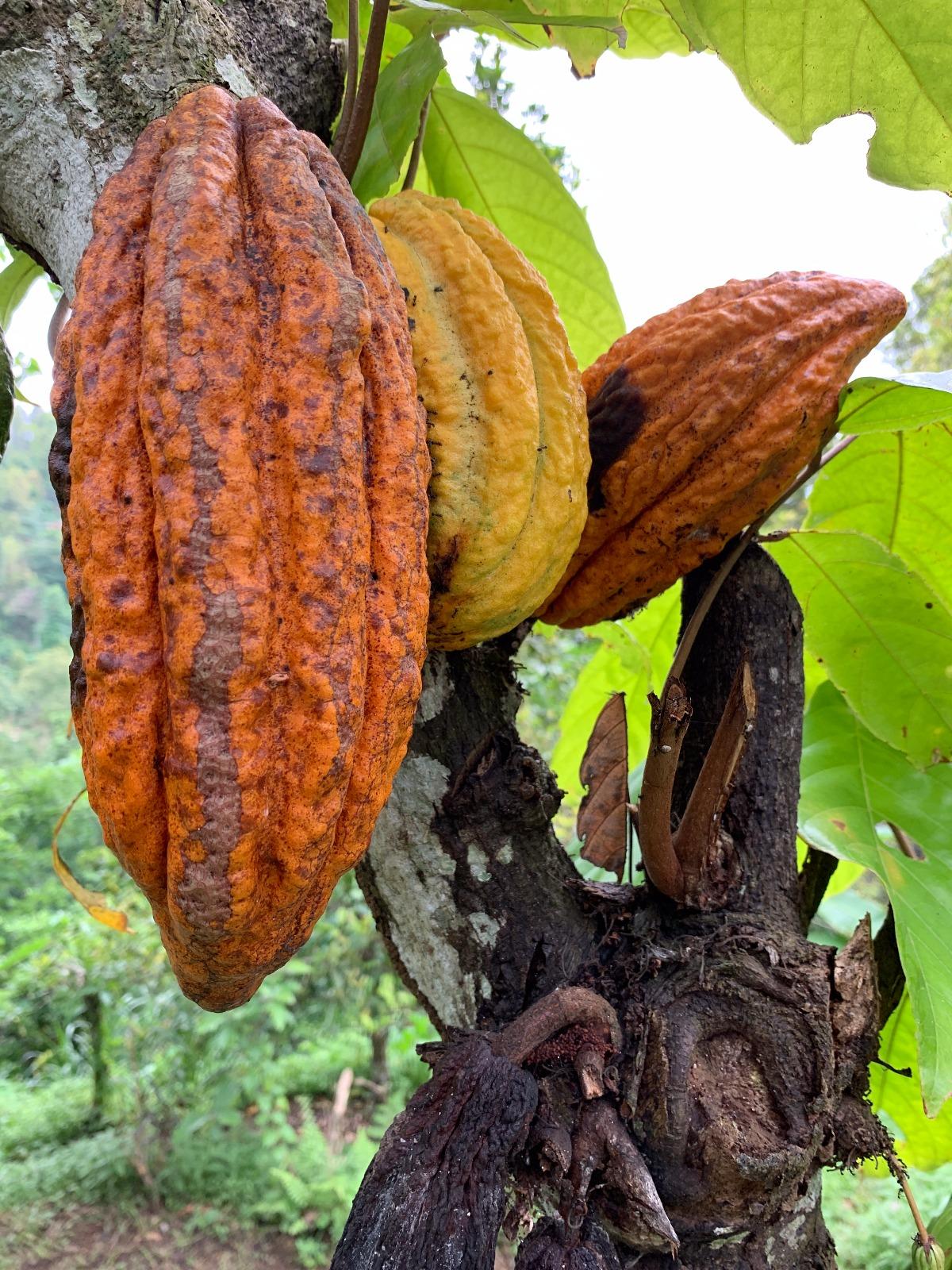 Cacao pods Munduk