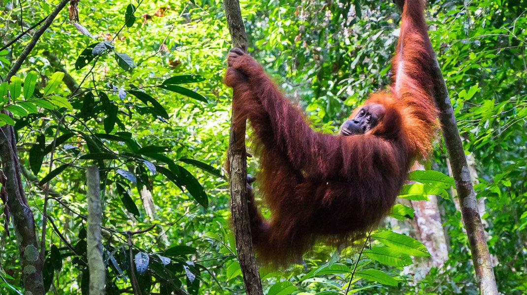 wild orangutan in bukit lawang
