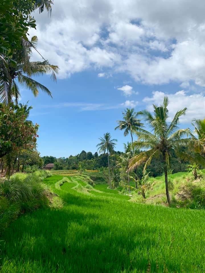 Ricefield Bali