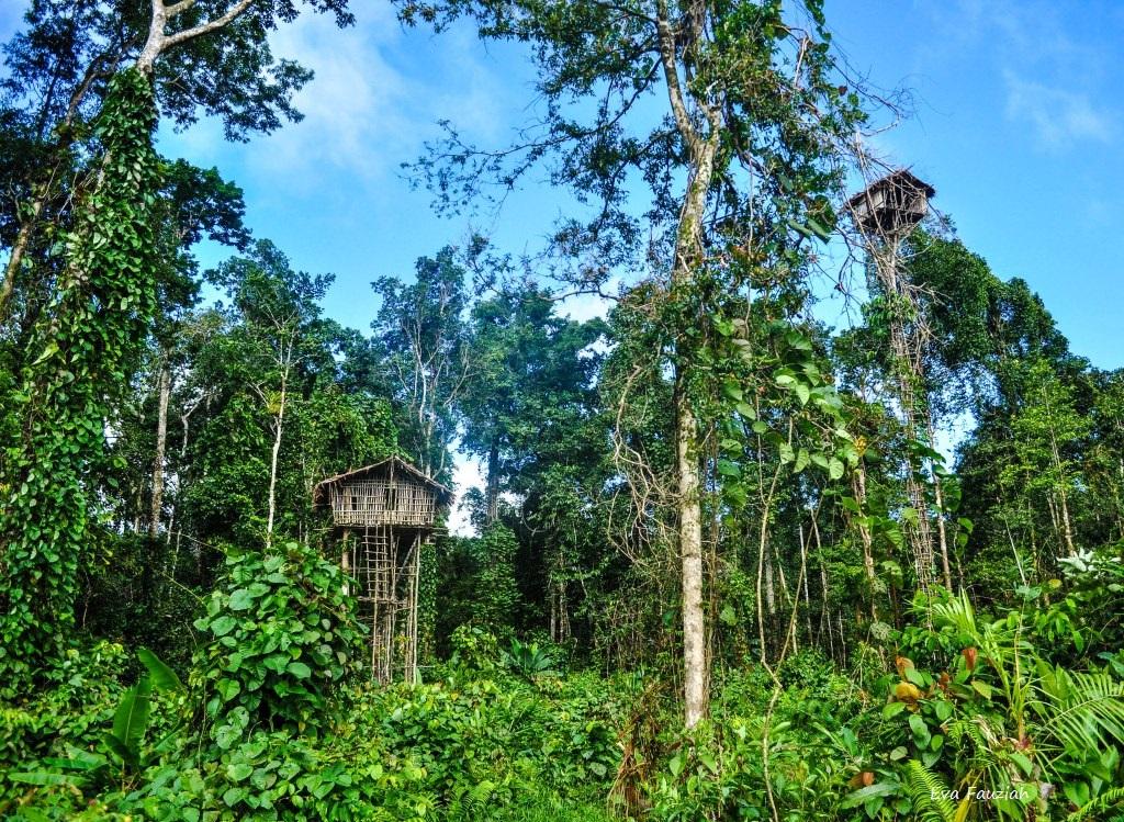 fact how korowai people build their tree house