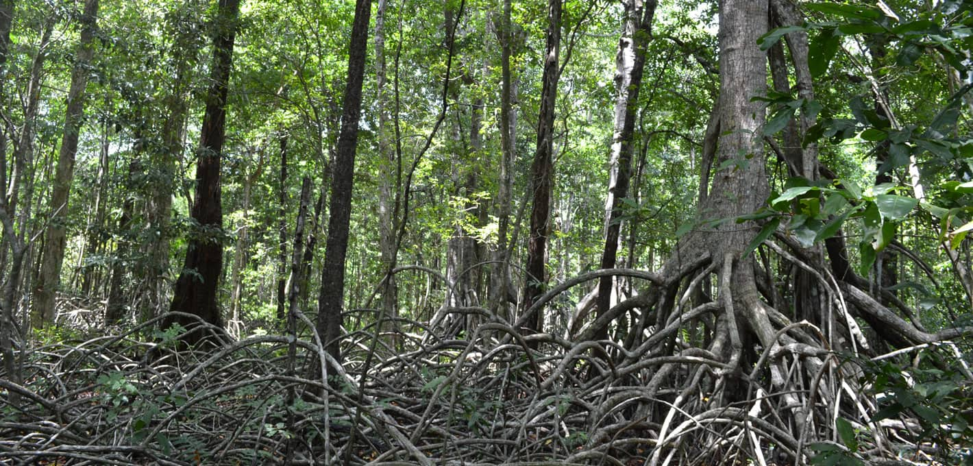 mangrove forest in wakatobi islands
