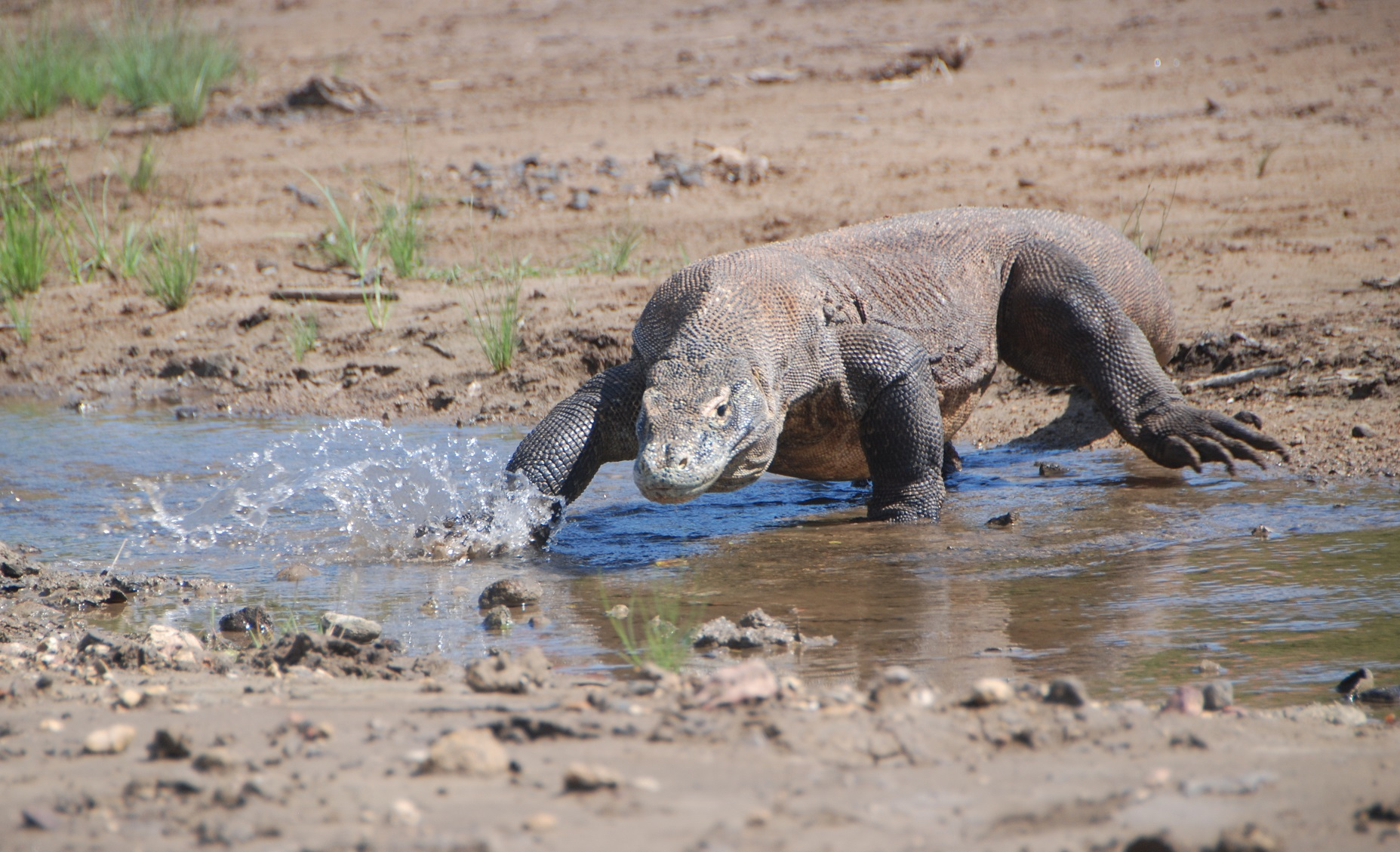 typical flores animal is the komodo dragon