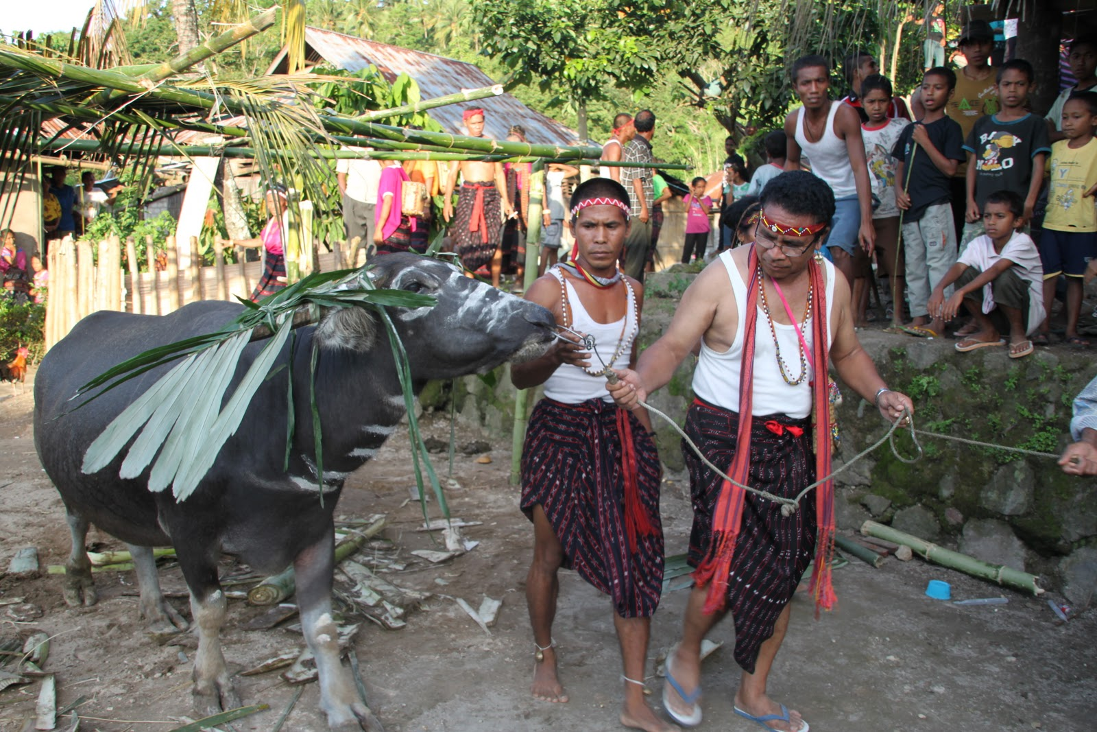 belis tradition in sumba marriage