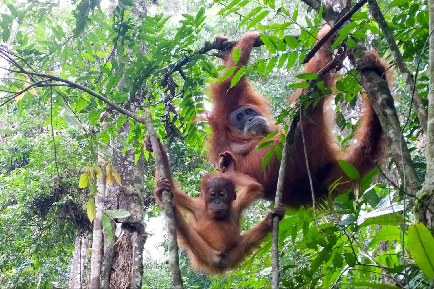 bukit lawang orangutan is rare species