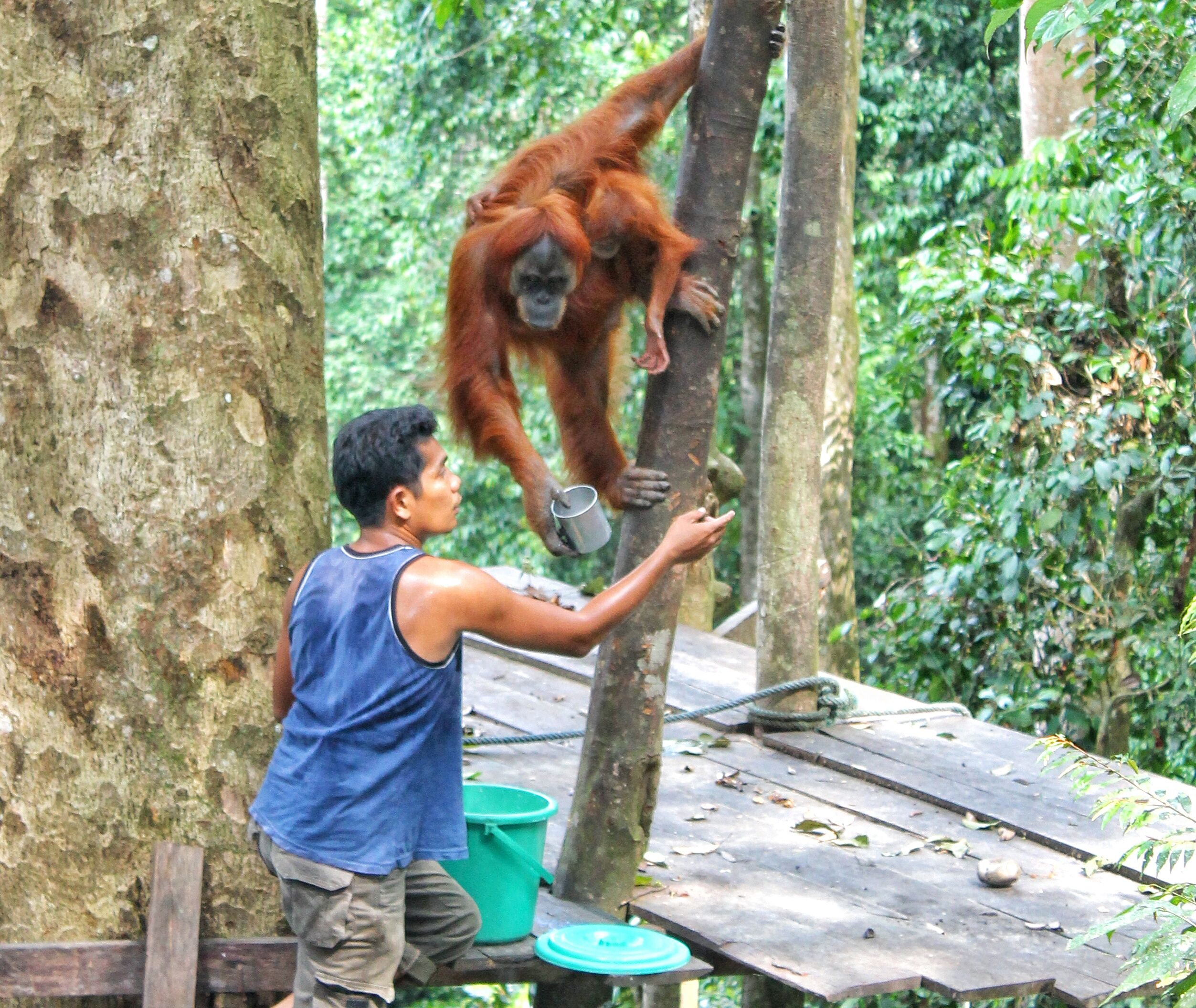 feeding the orangutan