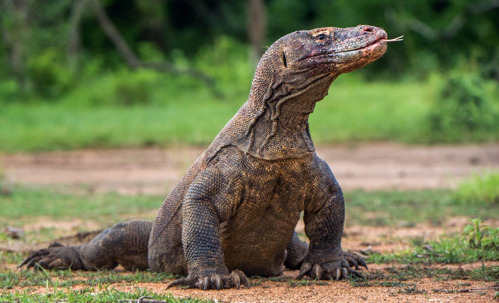 problematic komodo dragon in padar island