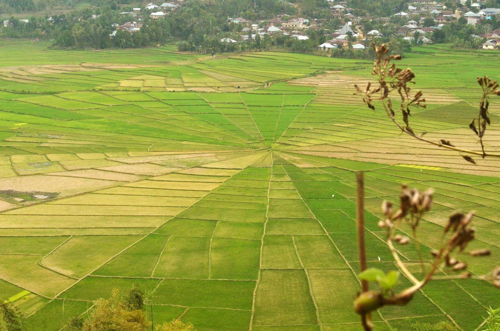 Lodok Spider Web Ricefields in Flores
