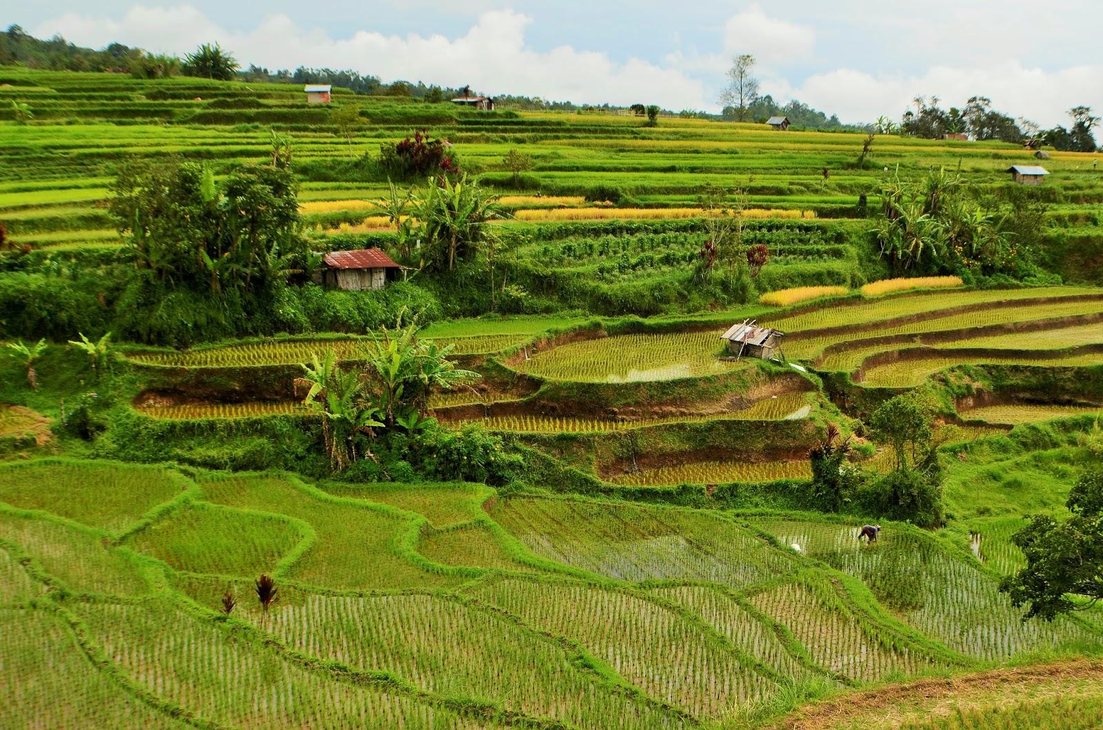 Pariangan Rice Terrace in West Sumatra