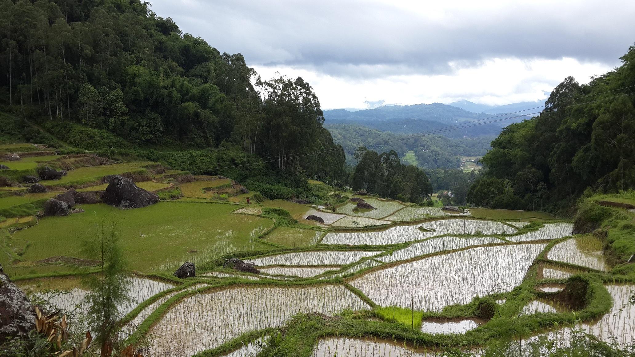 Tana Toraja Rice Terrace in South Sulawesi