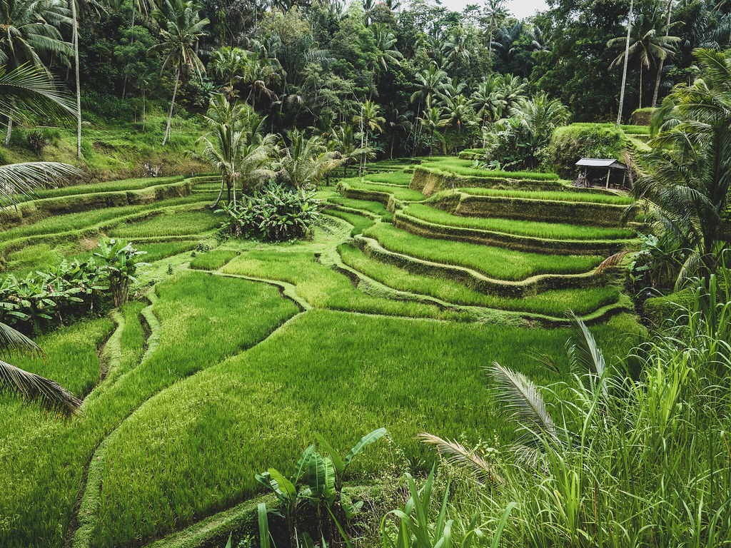 Tegallalang Rice Terrace in Bali