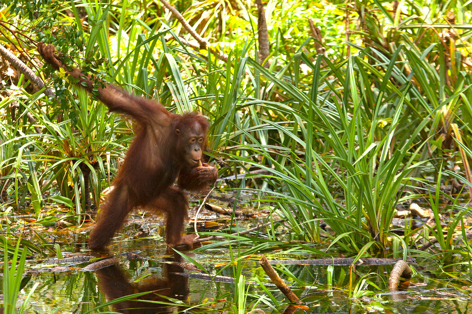 meet orangutan in Tanjung Puting National Park