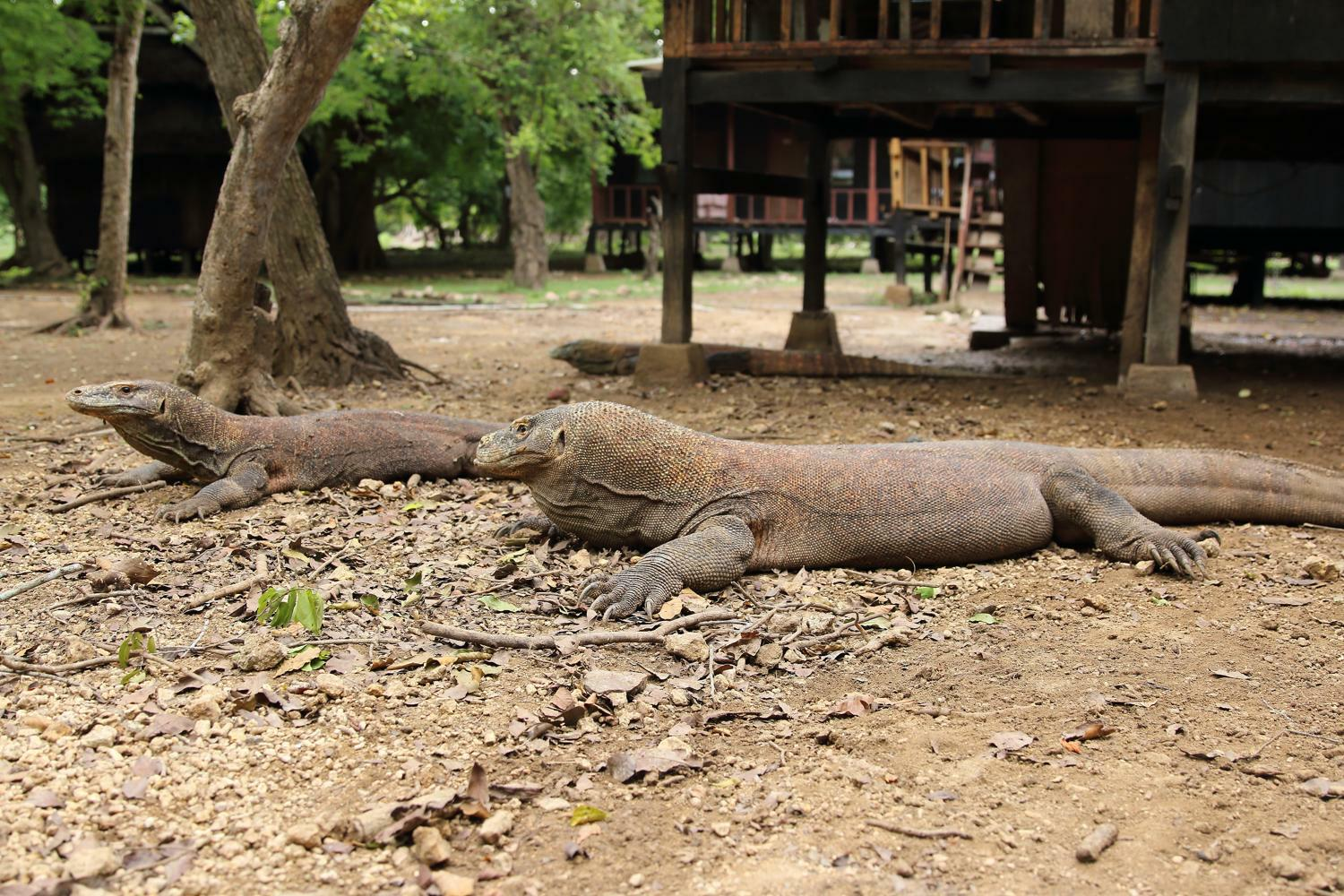 meet the komodo dragon in Komodo National Park