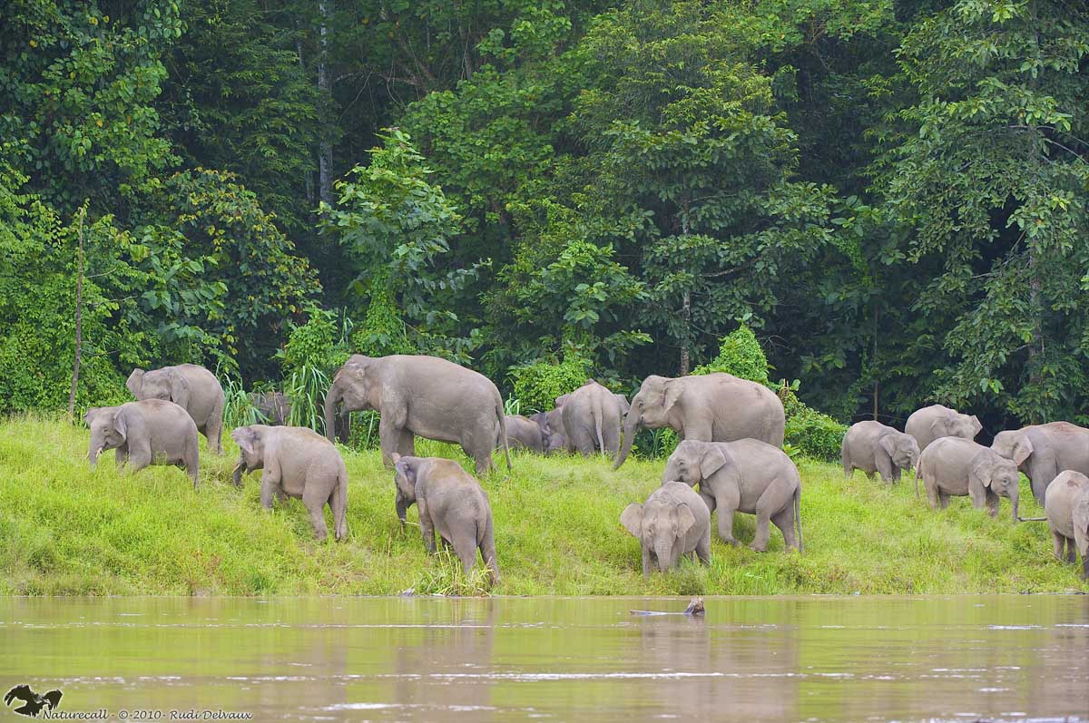 endangered borneo elephants in kayan mentarang