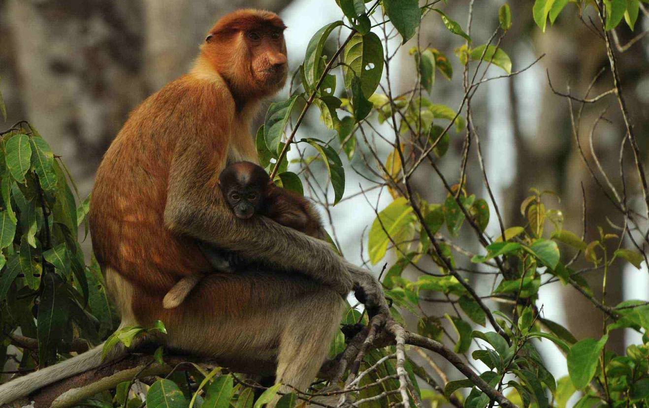 endangered species in borneo national park