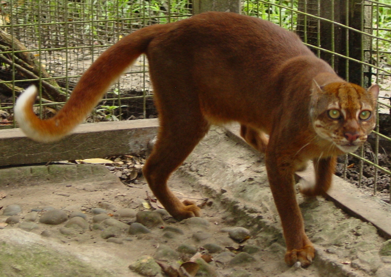 Borneo Bay Cat is another endemic animal of borneo