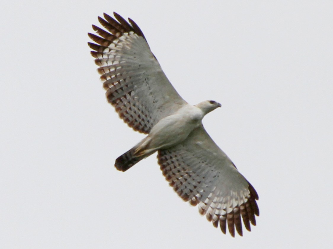 Flores Hawk-Eagle is protected animals in Indonesia