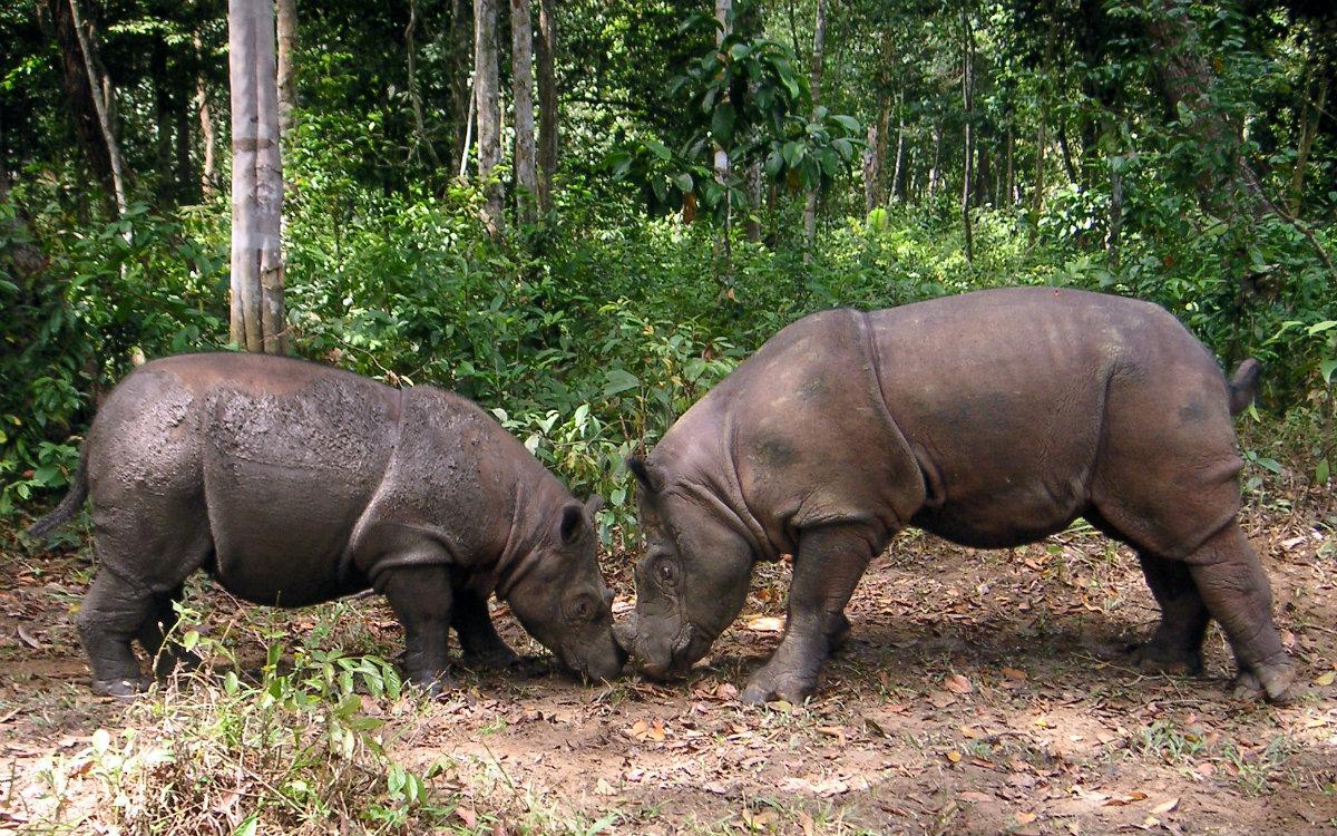 Javan Rhino is threatened