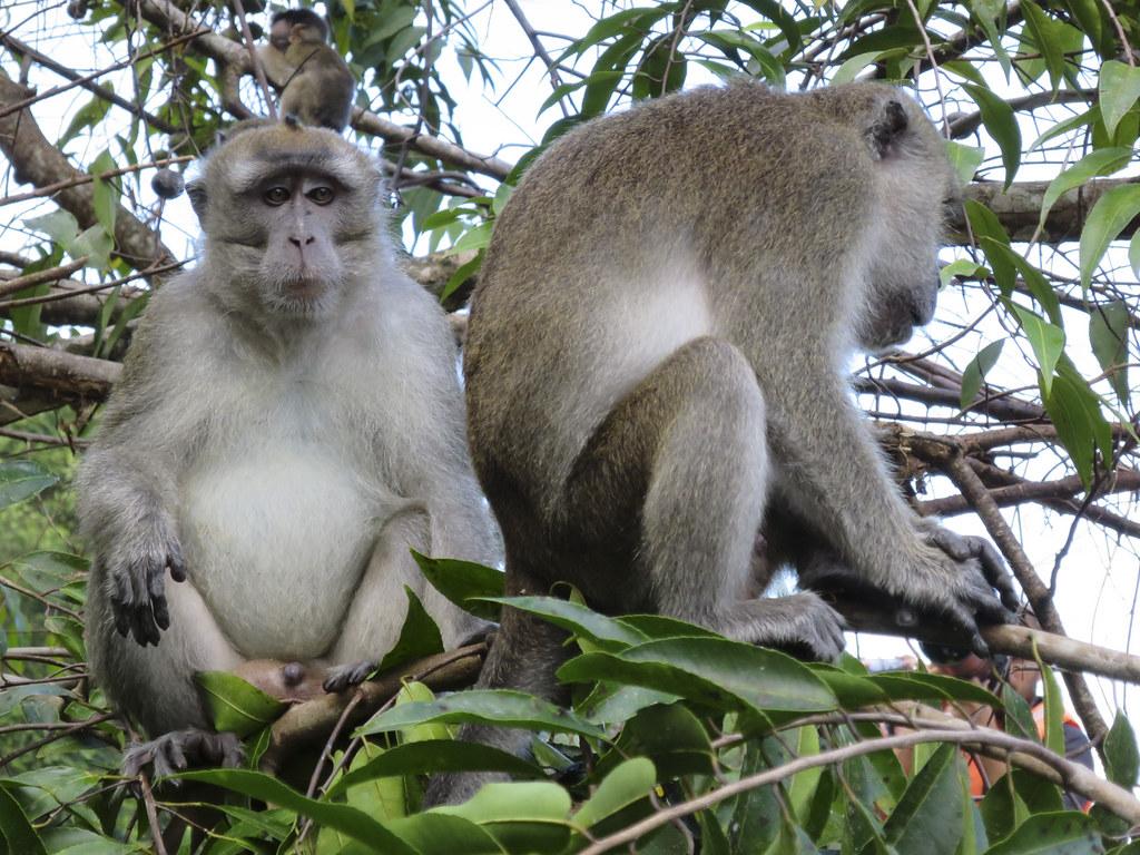 beruk mentawai species are endemic primates to the Mentawai Islands in Sumatra