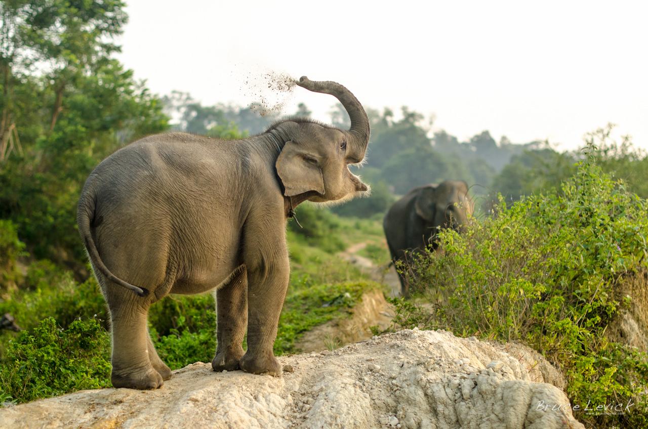 endangered sumatran elephants