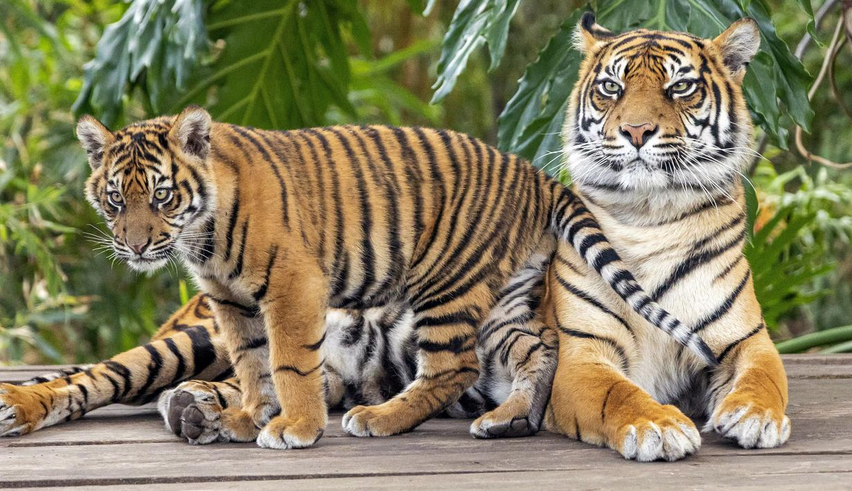 sumatran tiger is one of the rare animals protected by the Indonesian government