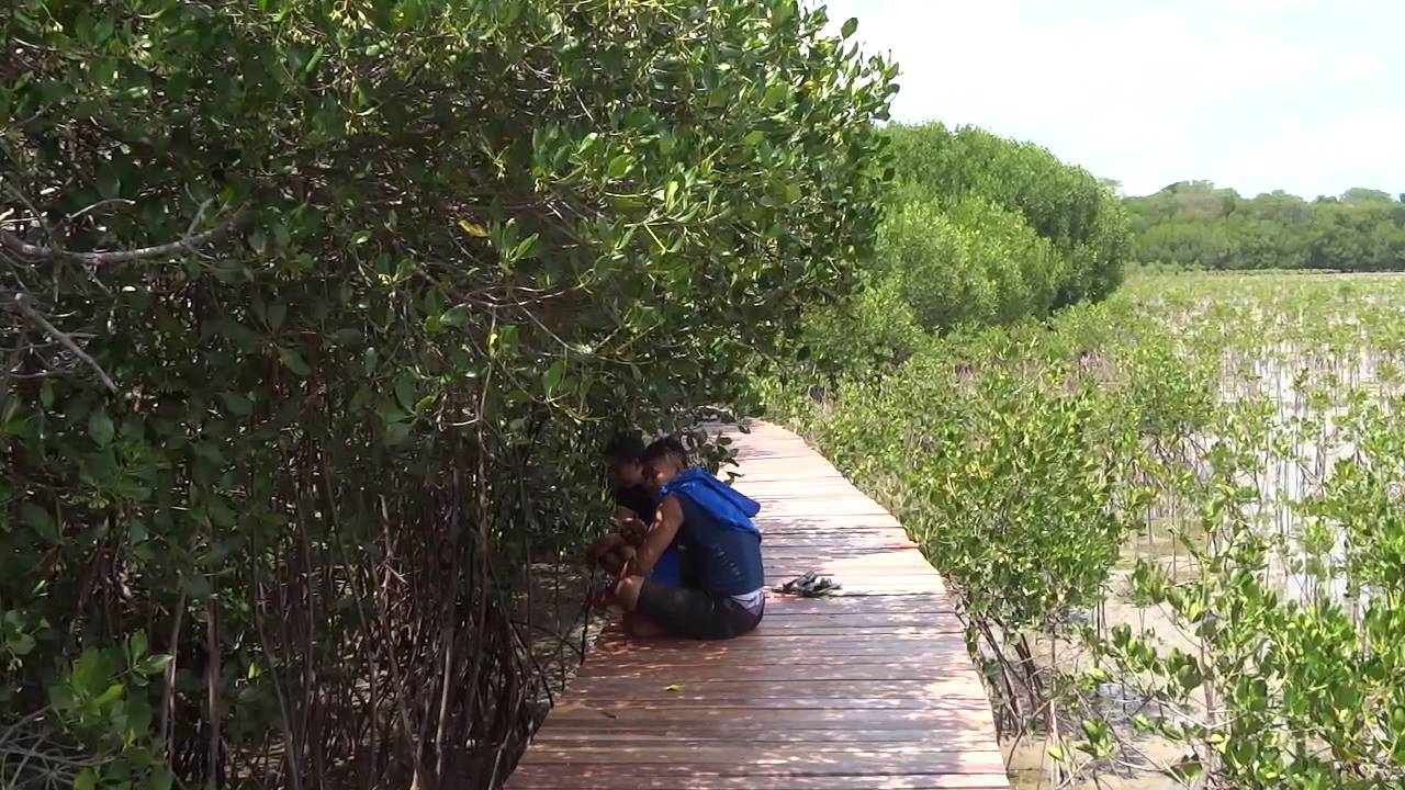 Rembang Mangrove Forest in Central Java