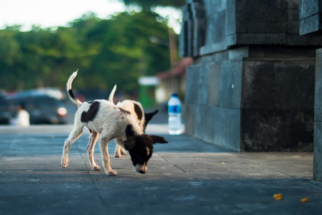 the fact bali with With The Largest Dog Population In Indonesia